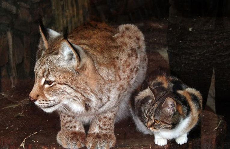 Кот помесь рыси и кота
