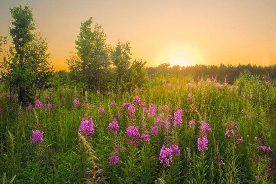grass-ivan-tea-medicinal-properties-17.jpg